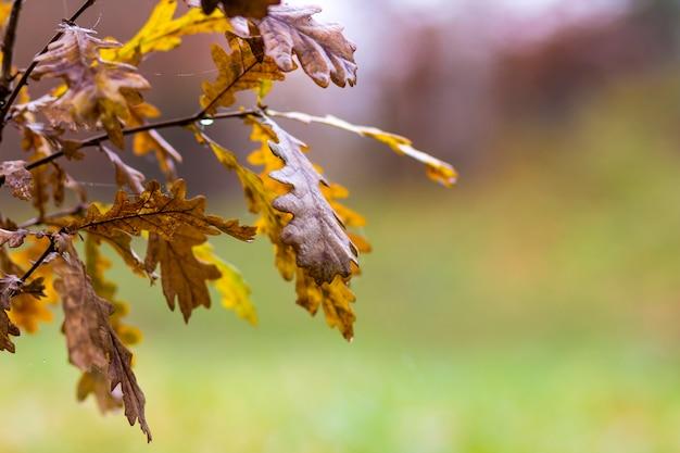 Pequeno carvalho com folhas amarelas no outono
