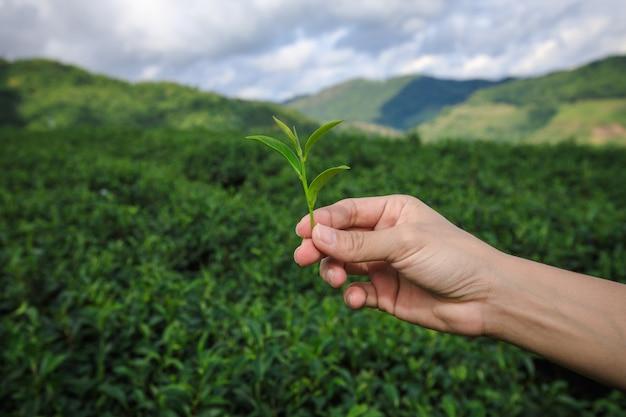 Pequeno chá verde na mão segurando e terras agrícolas com fundo de grupo de agricultor