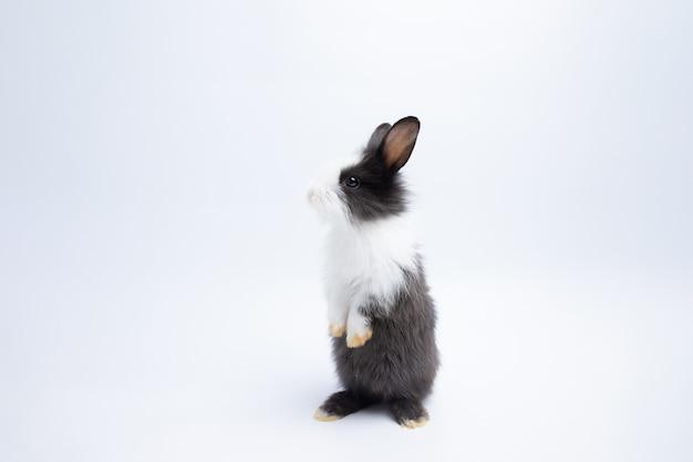 Pequeno coelho marrom e branco em pé sobre fundo branco isolado no estúdio. Foto Premium