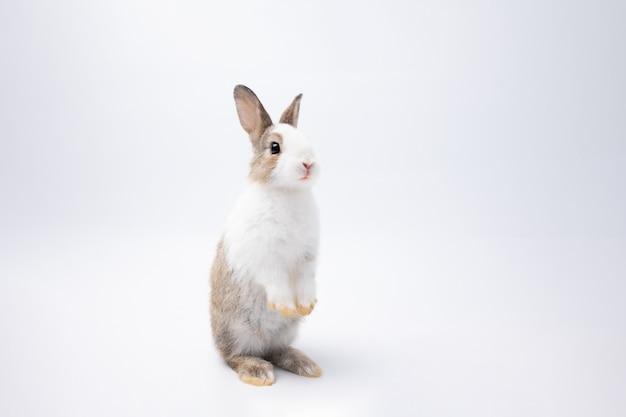 Pequeno coelho marrom e branco em pé sobre fundo branco isolado no estúdio.