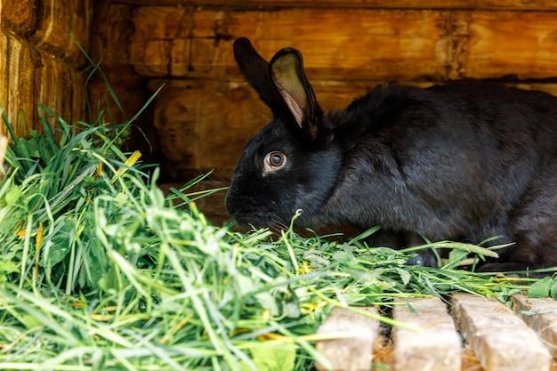 Pequeno coelho preto, alimentando-se, mastigando grama em coelhinho na fazenda animal, celeiro, rancho, fundo, co ...
