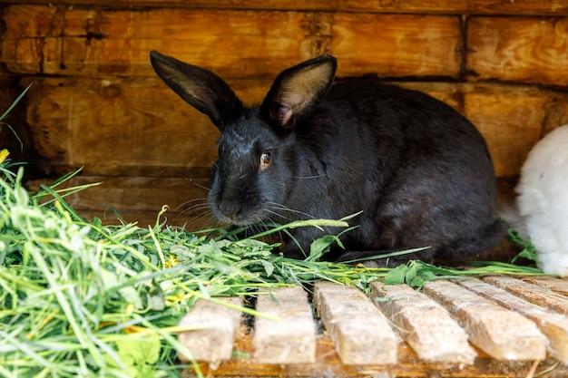 Pequeno coelho preto de alimentação mastigando grama na coelheira na fazenda de animais, fundo de fazenda de celeiro. coelhinho na gaiola na fazenda ecológica natural. pecuária animal moderna e conceito de agricultura ecológica.