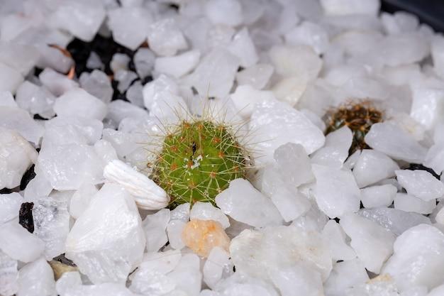 Pequeno e lindo cacto verde de espinhos brancos com foco seletivo