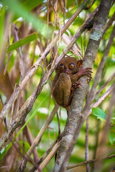 Pequeno engraçado tarsier na árvore em ambiente natural na ilha de bohol, filipinas