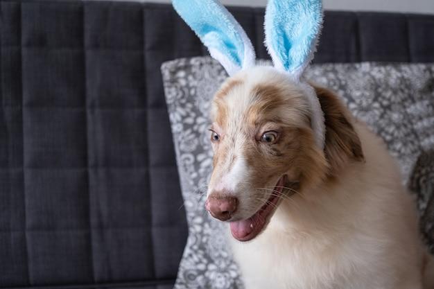 Pequeno fofo louco saiu pastor australiano red merle cachorrinho usando orelhas de coelho. páscoa. sentado no sofá sofá. olhos azuis. foto de alta qualidade