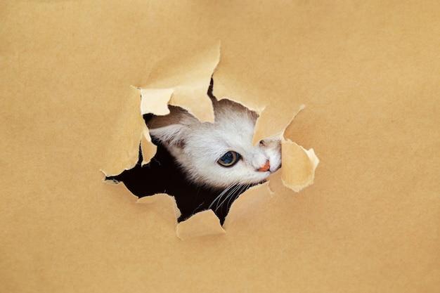 Pequeno gatinho britânico branco parece através de um buraco no papel do ofício. animal de estimação curioso engraçado. copie o espaço.