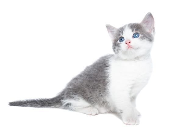 Pequeno gatinho cinza e branco em um fundo branco