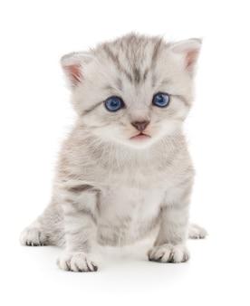 Pequeno gatinho cinza isolado no fundo branco