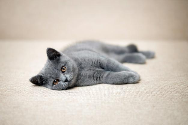 Pequeno gatinho de pelúcia cinza curto britânico