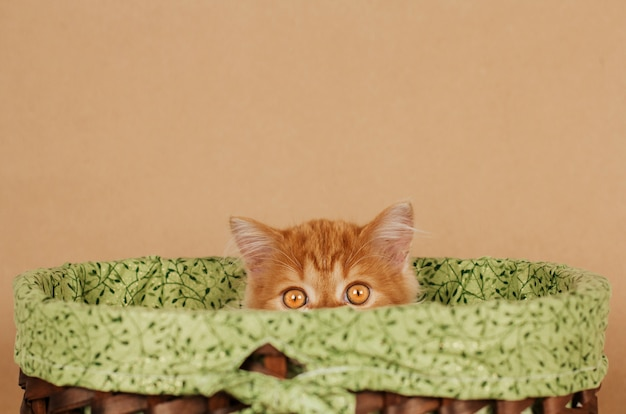 Pequeno gatinho gengibre fofo espreita fora de uma cesta de vime