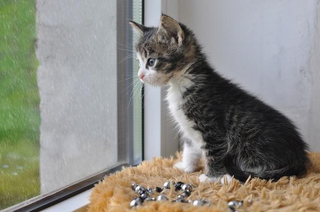 Pequeno gato malhado sentado no parapeito da janela e olha a chuva para fora da janela.