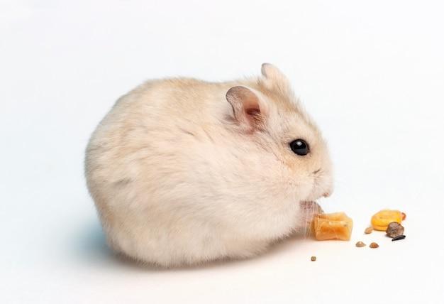 Pequeno hamster come comida seca em close-up de fundo branco, vista lateral