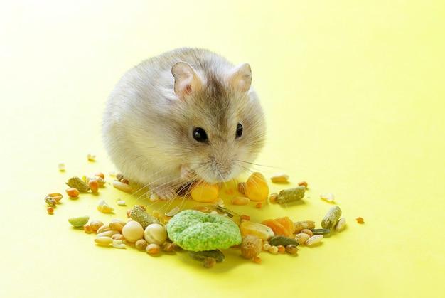 Pequeno hamster come comida seca em fundo amarelo