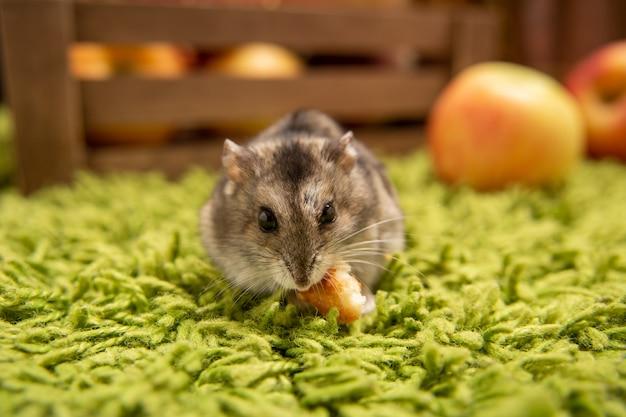 Pequeno hamster doméstico. hamster dzungário. pequeno hamster de estimação