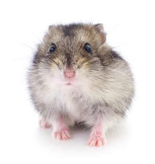 Pequeno hamster doméstico isolado no fundo branco.