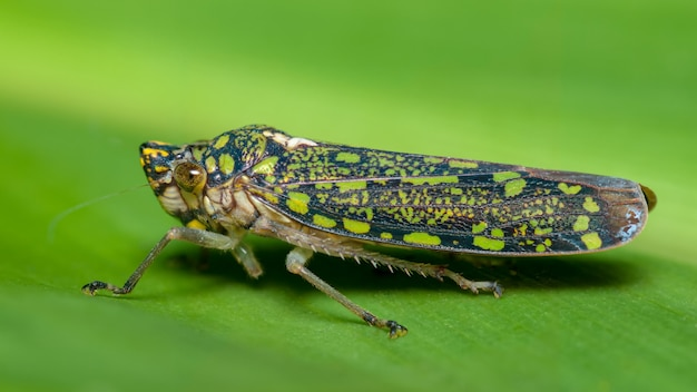 Pequeno inseto verde e azul se camuflando com uma folha de árvore