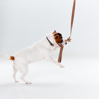 Pequeno jack russell terrier em branco