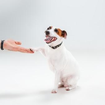Pequeno jack russell terrier sentado no branco