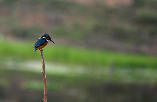 Pequeno kingfisher visando peixes