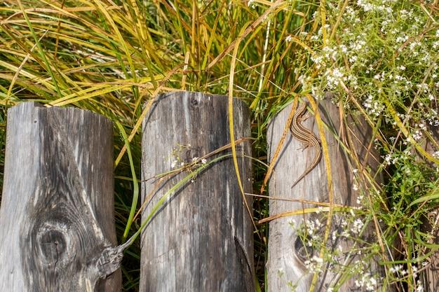 Pequeno, lagarto, sunbathing, ligado, um, ponte madeira, feito, de, logs