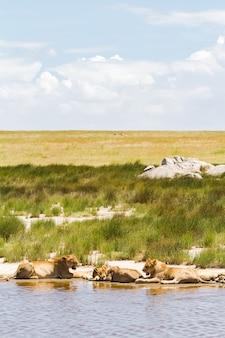 Pequeno lago e leões. paisagens da tanzânia, áfrica
