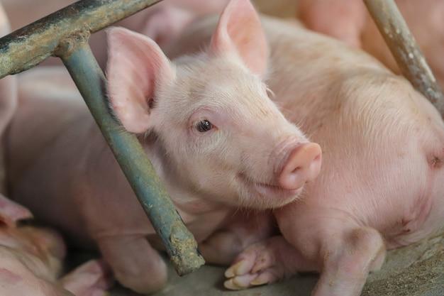 Pequeno leitão esperando alimento interno em um quintal de fazenda na tailândia suínos no estábulo feche os olhos e desfoque retrato porquinho