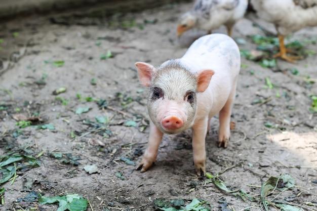 Pequeno leitão vietnamita em uma fazenda. porquinho fofo olhando para a câmera