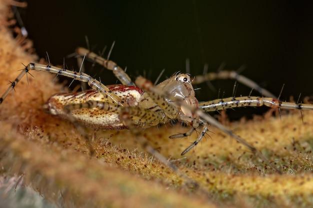 Pequeno lince-aranha da espécie peucetia flava