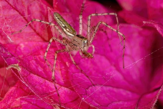 Pequeno lince-aranha da espécie peucetia rubrolineata