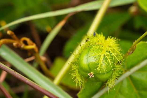 Pequeno maracujá (fétido passiflora) na floresta como uma erva para ajudar a reduzir a dor.