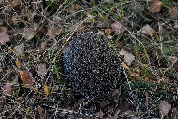 Pequeno ouriço na floresta