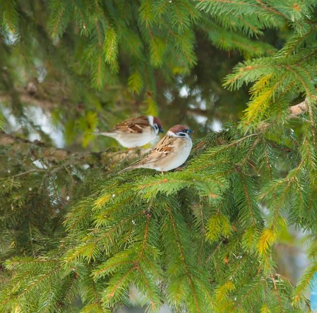 Pequeno pardal empoleirado em um galho de árvore spruce