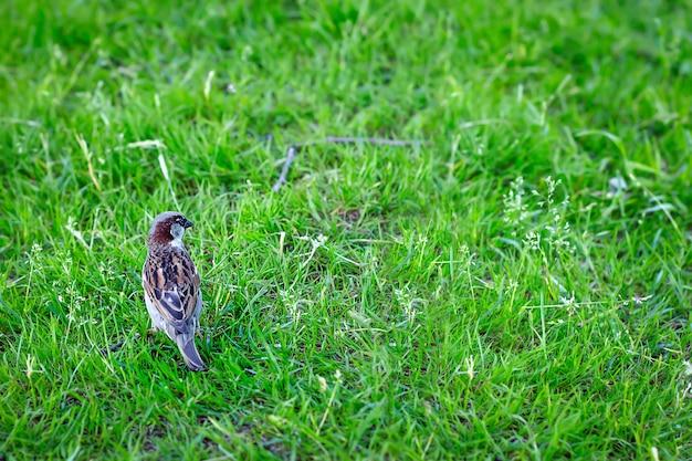 Pequeno pardal na grama. parque. animais selvagens.