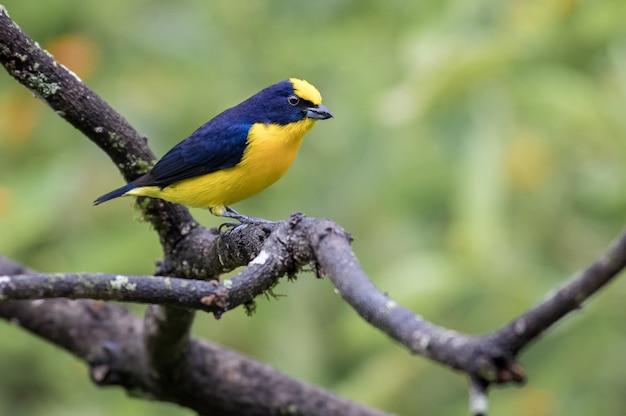 Pequeno pássaro azul e amarelo empoleirado em um galho seco