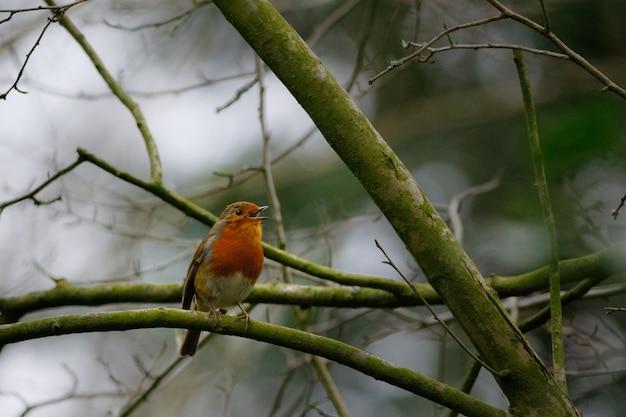 Pequeno pássaro cantando