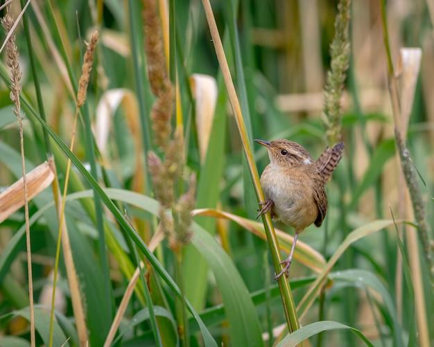 Pequeno pássaro empoleirado em pontas de grama olhando para cima