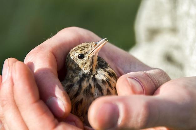 Pequeno pássaro resgatado nas mãos de um homem atencioso