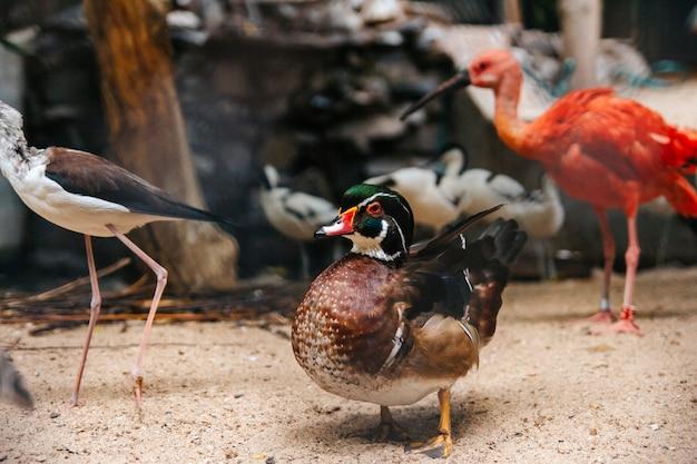 Pequeno pato mandarim caminha em uma fazenda