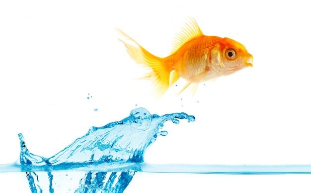 Pequeno peixe dourado salta para fora da água.