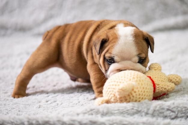 Pequeno, pequeno bulldog inglês cachorrinho, bebê, brincando com brinquedo
