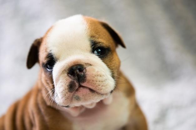 Pequeno, pequeno bulldog inglês cachorrinho, bebê, recém-nascido