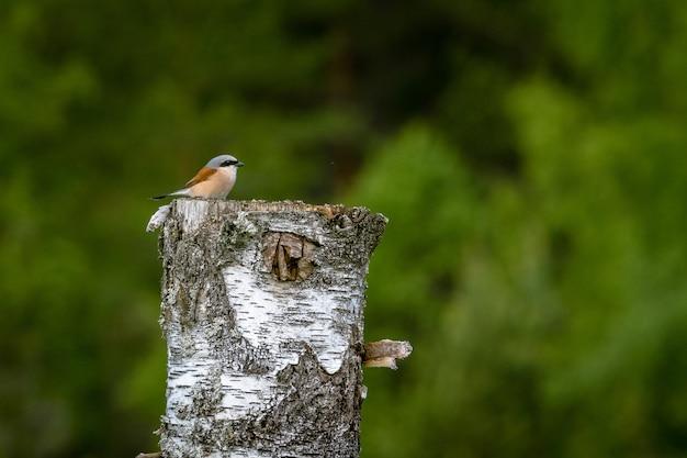 Pequeno picanço-de-dorso-ruivo em pé em uma árvore cortada sob a luz do sol