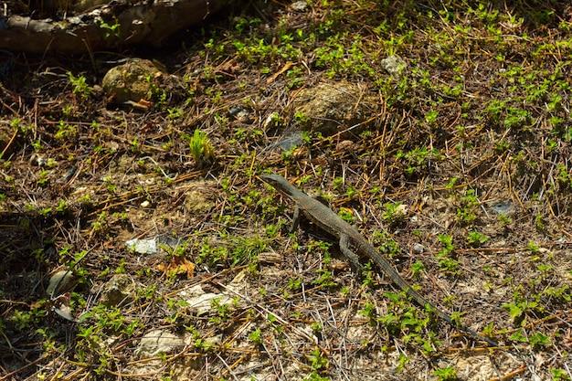 Pequeno predador réptil lagarto monitor de bebê em um parque