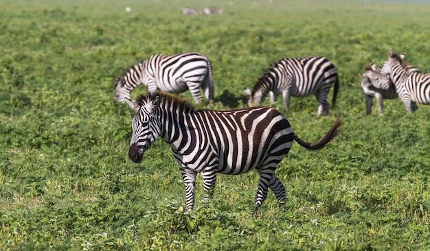 Pequeno rebanho de zebras na cratera ngorongoro. tanzania, africa