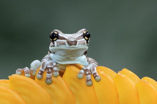 Pequeno sapo leiteiro amazônico em flor amarela