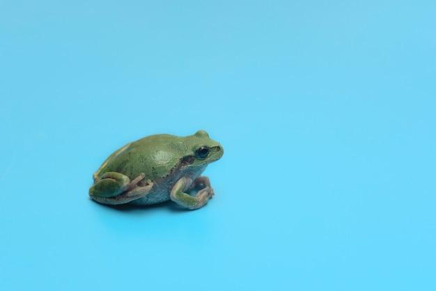 Pequeno sapo verde em cartão de fundo azul com espaço de cópia