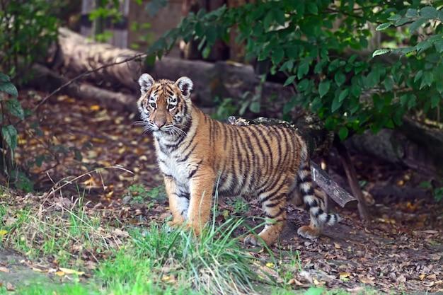Pequeno tigre bonitinho brincando na grama