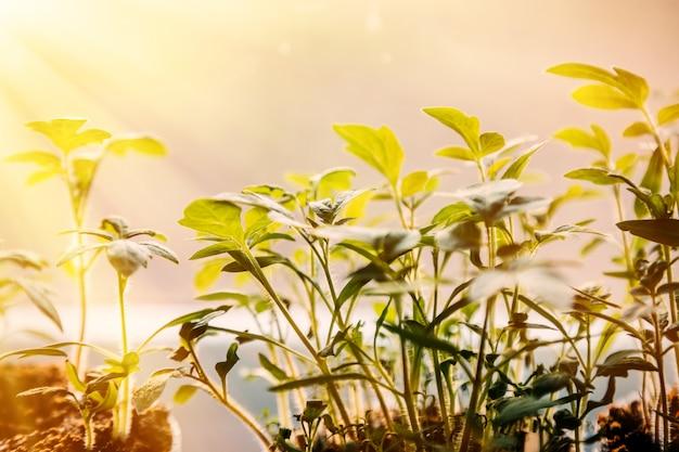Pequenos brotos de pimenta cultivada em casa no peitoril da janela no pôr do sol, cópia espaço