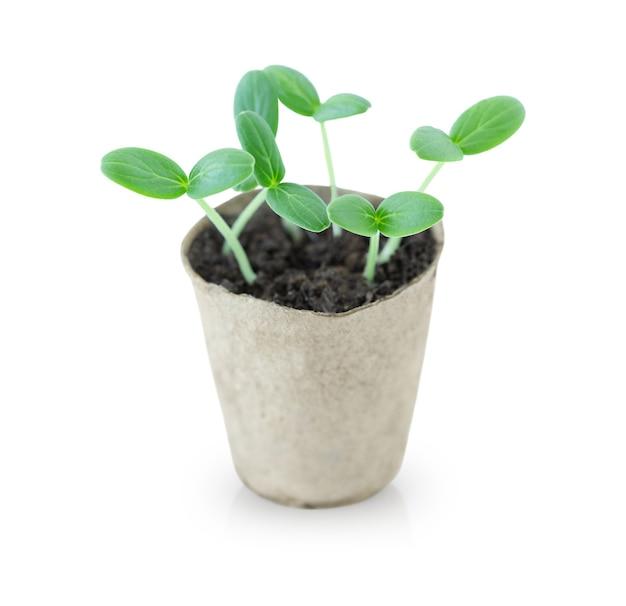 Pequenos brotos verdes crescendo em um vaso isolado no branco