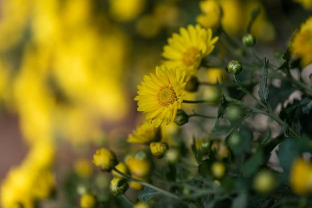 Pequenos crisântemos amarelos silvestres no parque